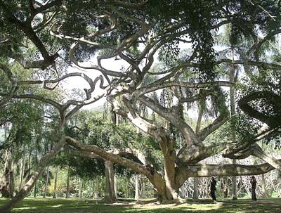 Шри Ланка. Нувара Элия. Королевский ботанический сад